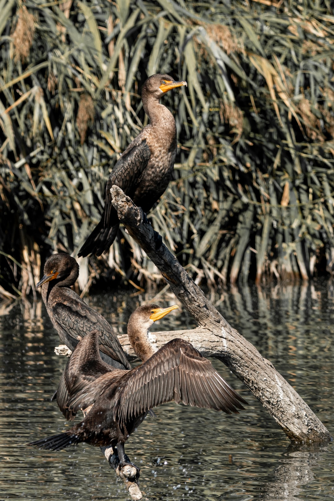 A pair of cormorant basking in the sun