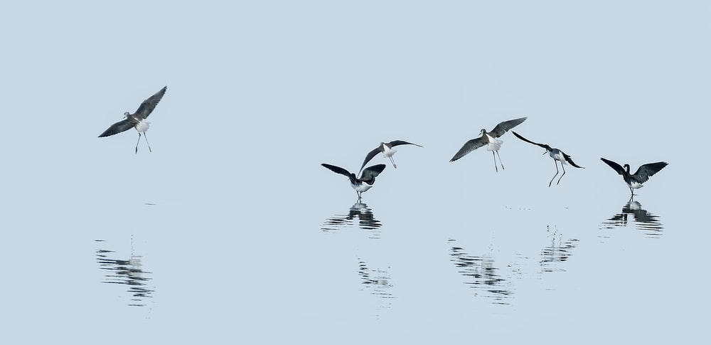 black and white birds flying over body of water