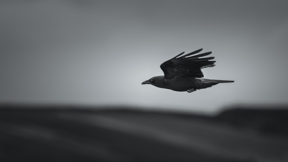 grayscale photography of soaring crow