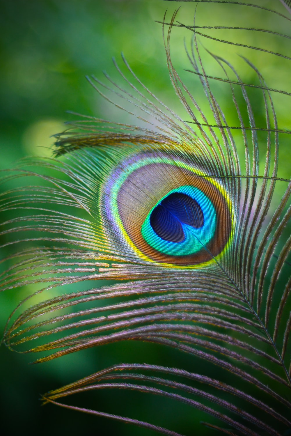 teal and green peafowl feather