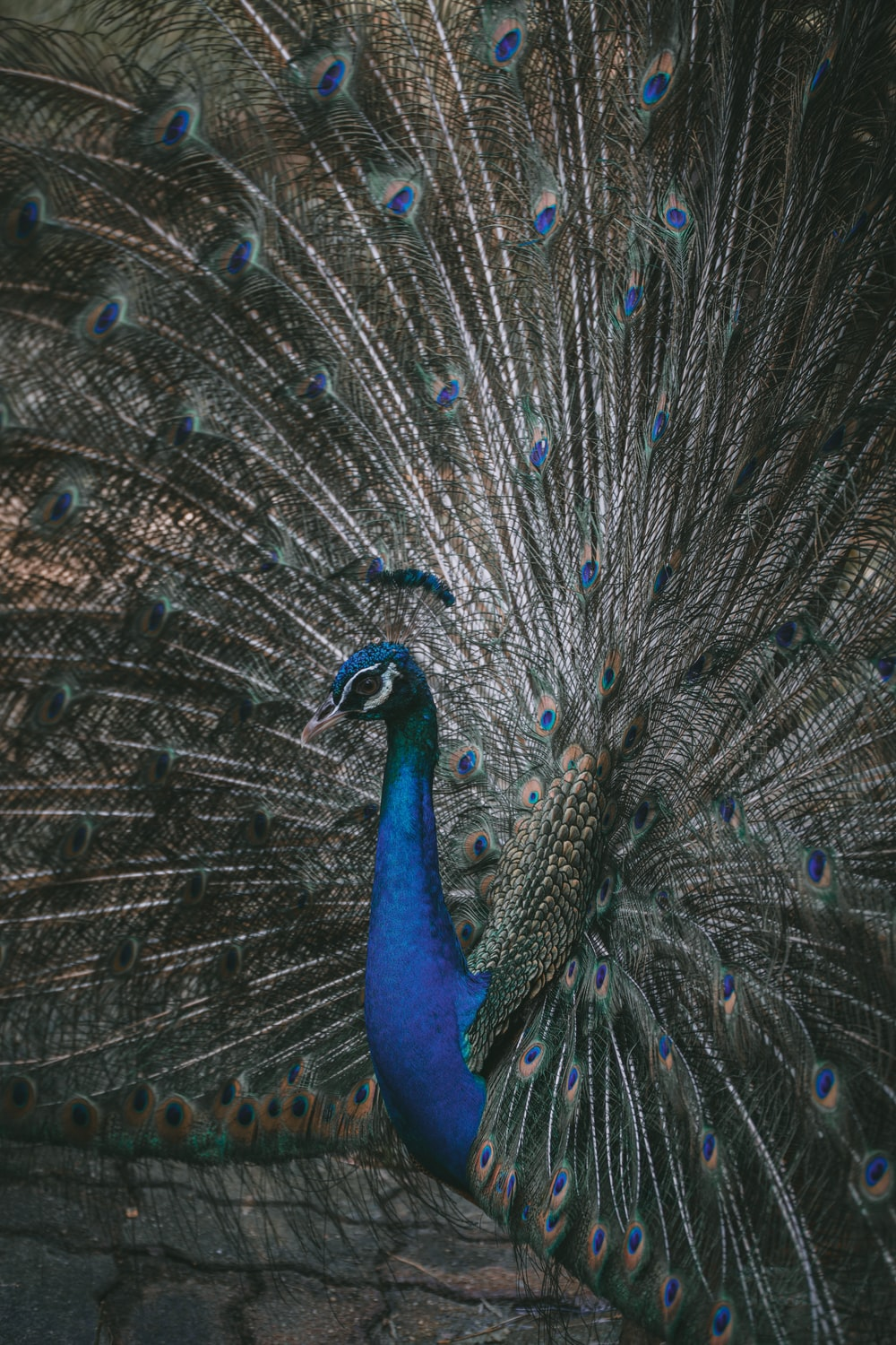 peacock showing his tail