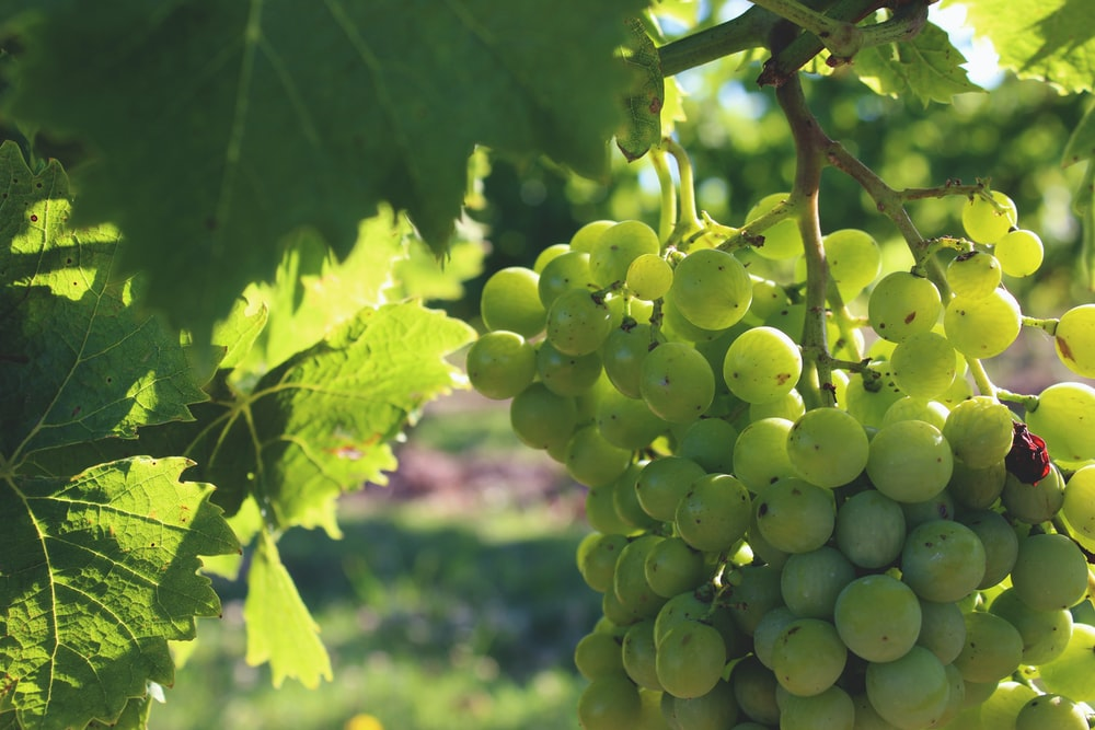 closeup photo of bunch of white grapes