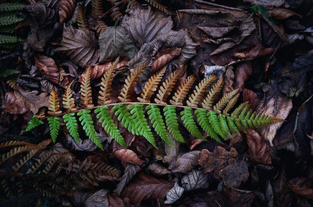 Boston fern on dried leaves