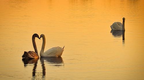 Swan Unrequited Love