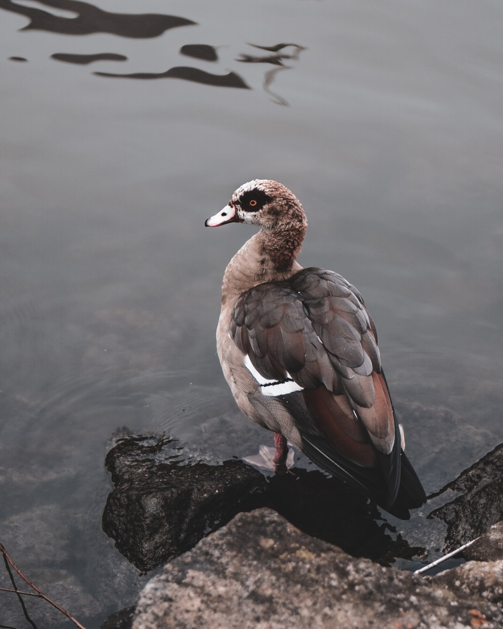 black and gray duck on rock