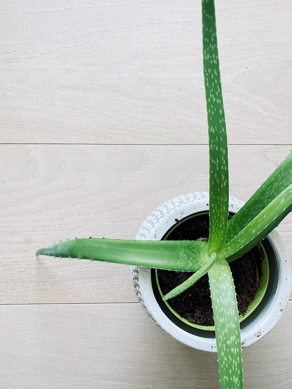 green Aloe Vera plant with pot