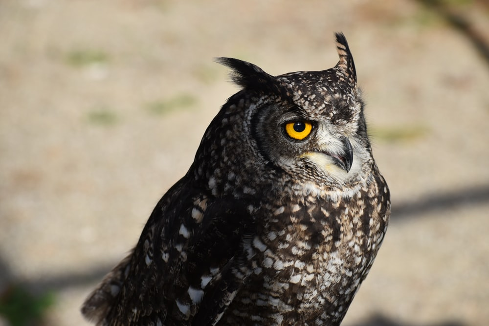selective-focus photograph of gray and white owl