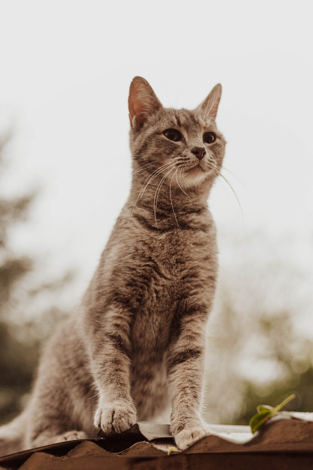 grey tabby cat on roof
