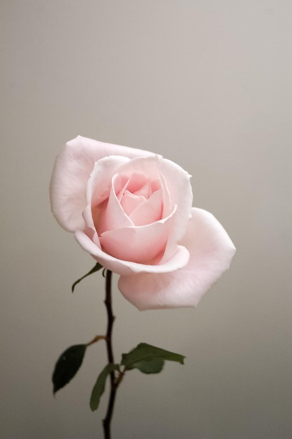 Rose Wallpapers Free Hd Download 500 Hq Unsplash