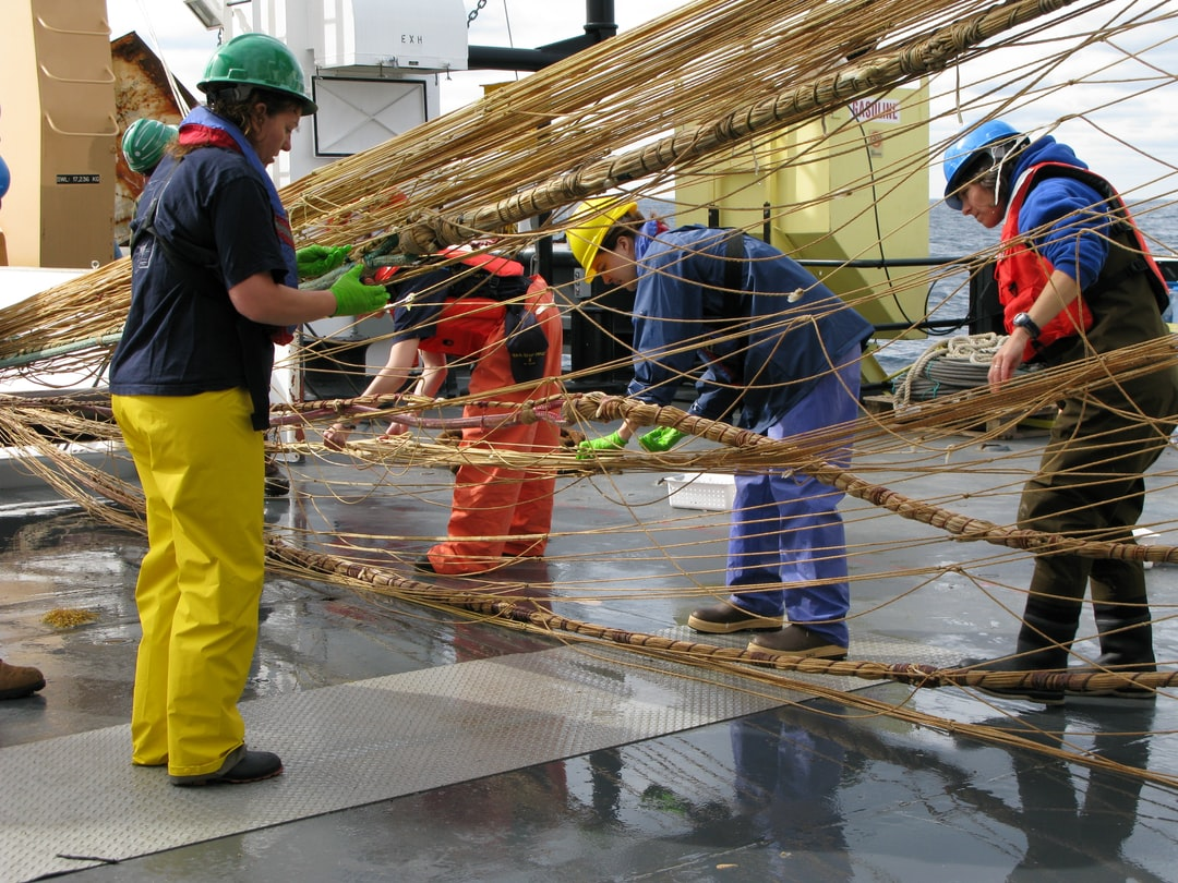 Hauling in Aleutian wing trawl during sperm whale predation survey -picking small organisms adhering to net for further study.