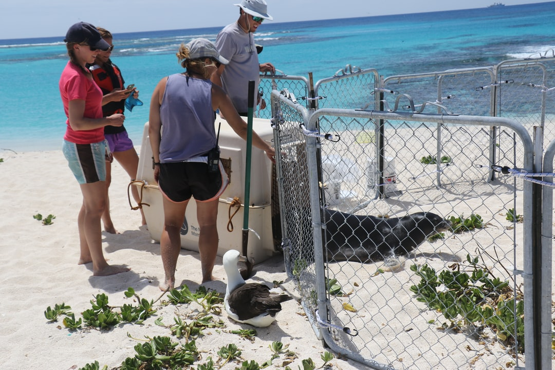 Releasing an injured seal into a rehabilitation pen.
