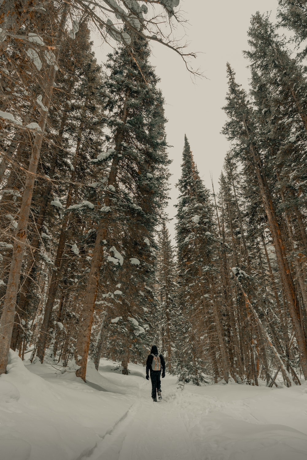 person walking on snow between pine trees