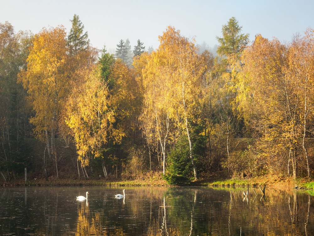 swan swimming on body of water near trees