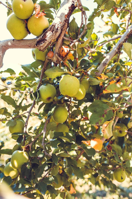 apple fruits on tree