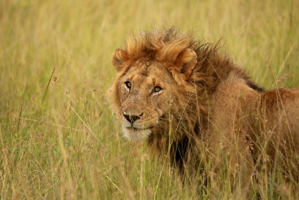 lion standing on green grass