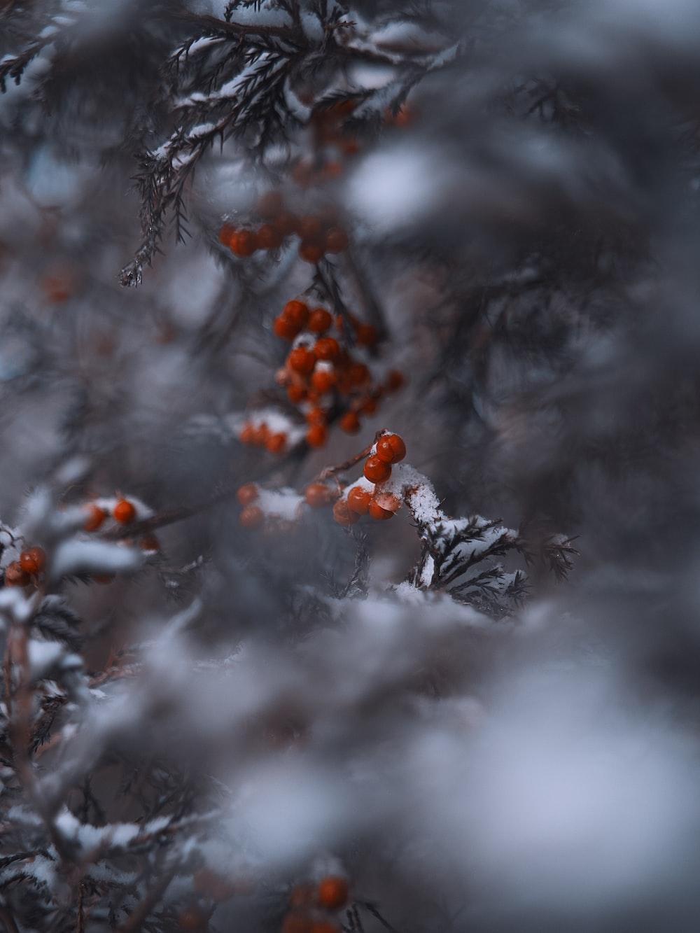 snow-covered red mistletoe