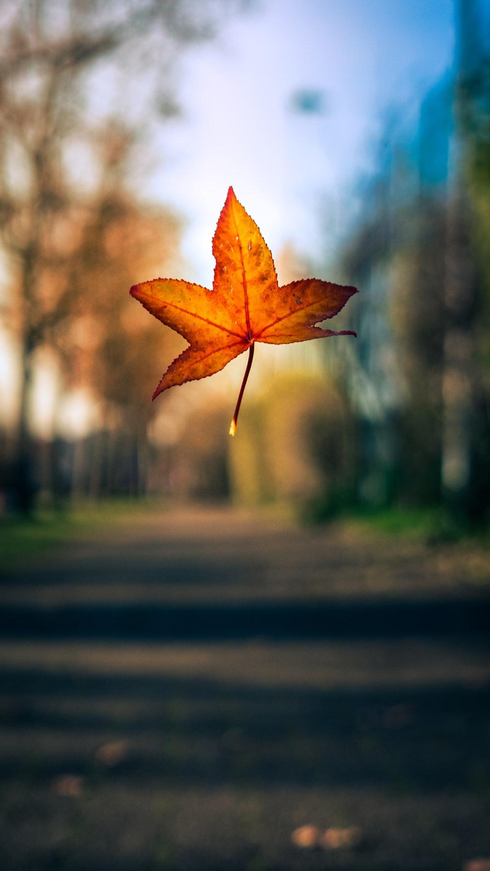 maple leaf fallen photo