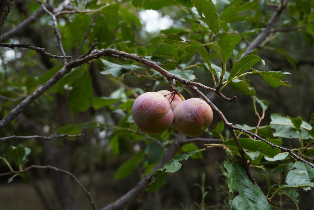 three brown peaches