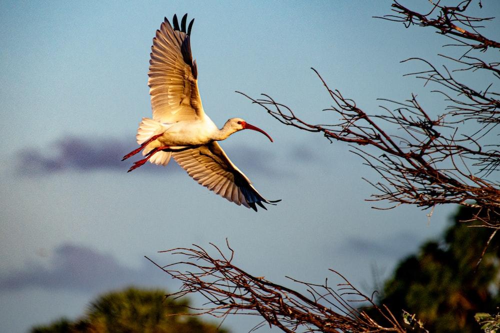 crane flying beside tree