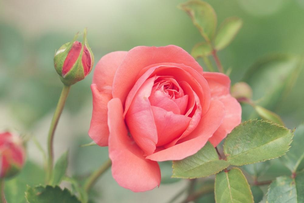 pink-petaled rose flower