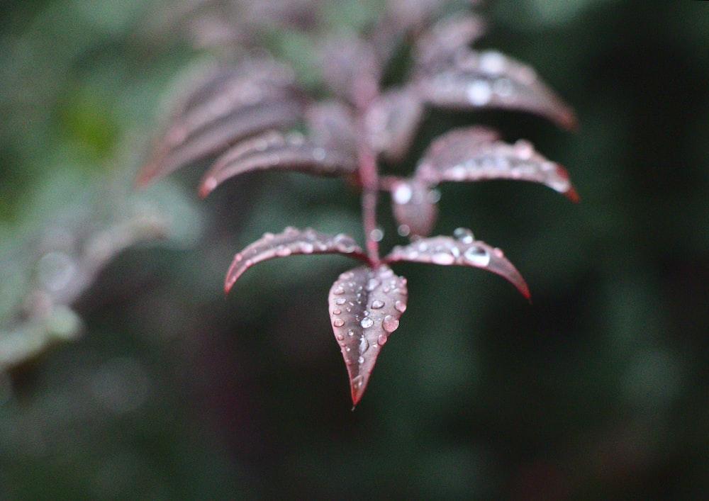 dew on maroon leafed plant