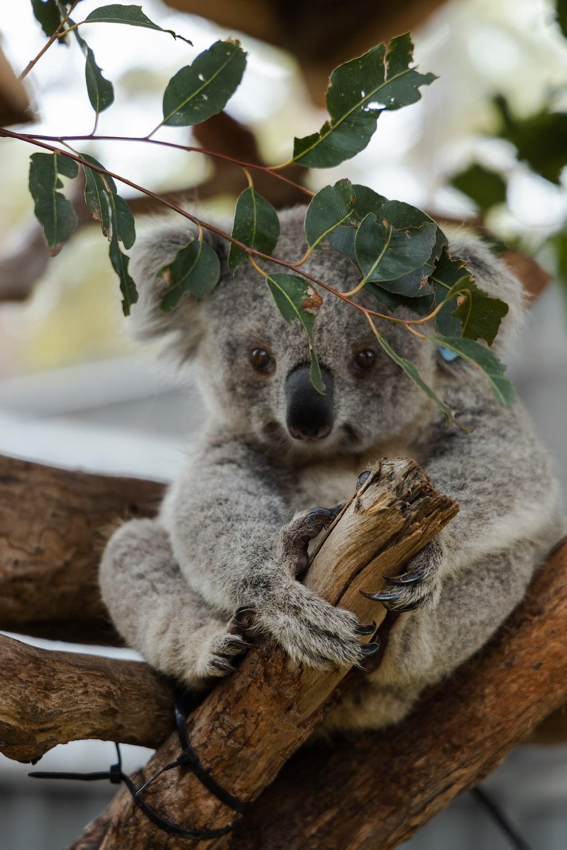 gray Koala bear sitting on tree