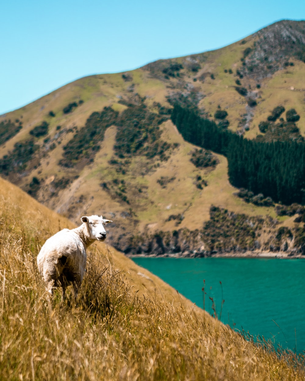 white sheep on hill