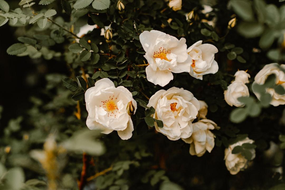 White Roses - unsplash