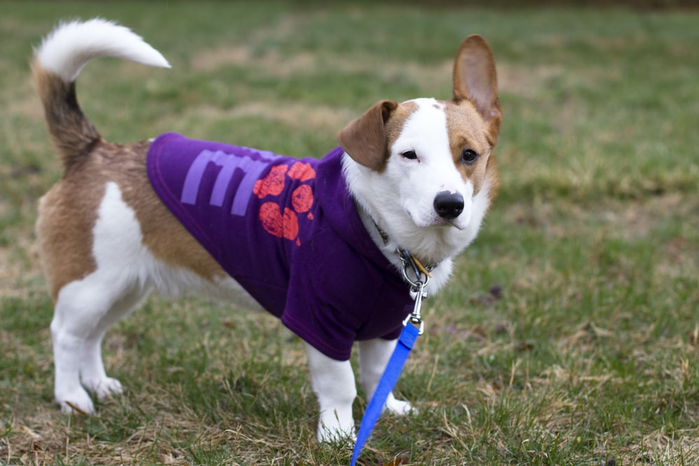 tan and white dog with purple shirt and leash
