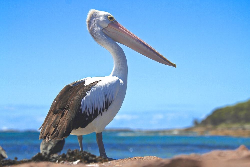 white and black pelican perched on brown island during day