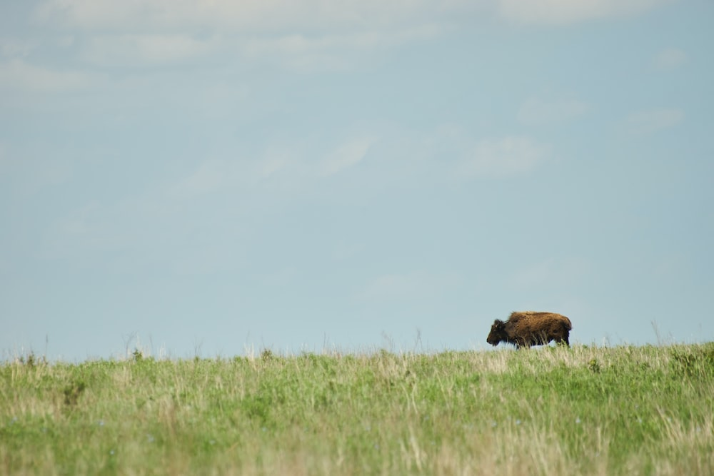brown cattle on grass field during day