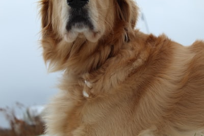 adult golden retriever canine zoom background