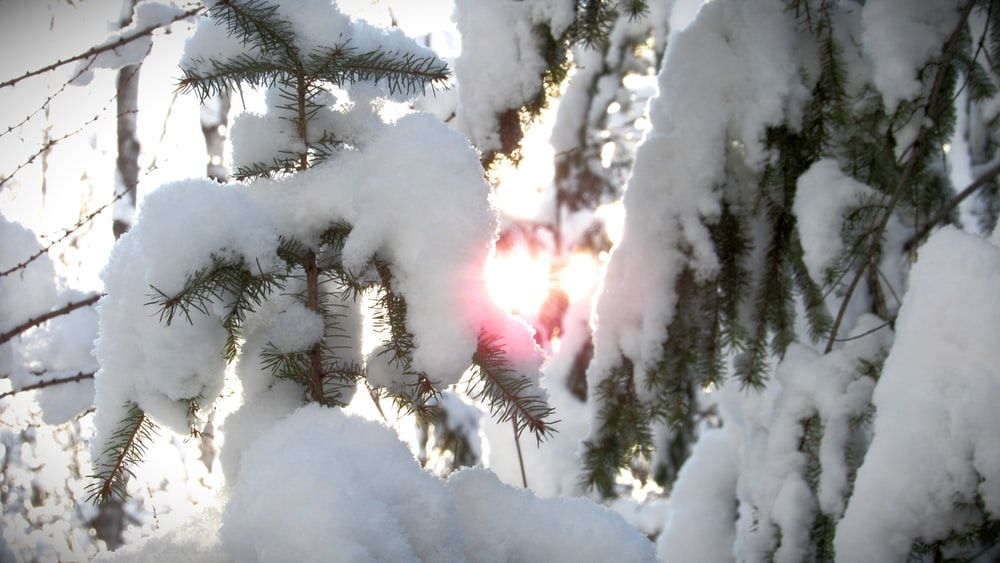 green-leafed tree covered with white snow