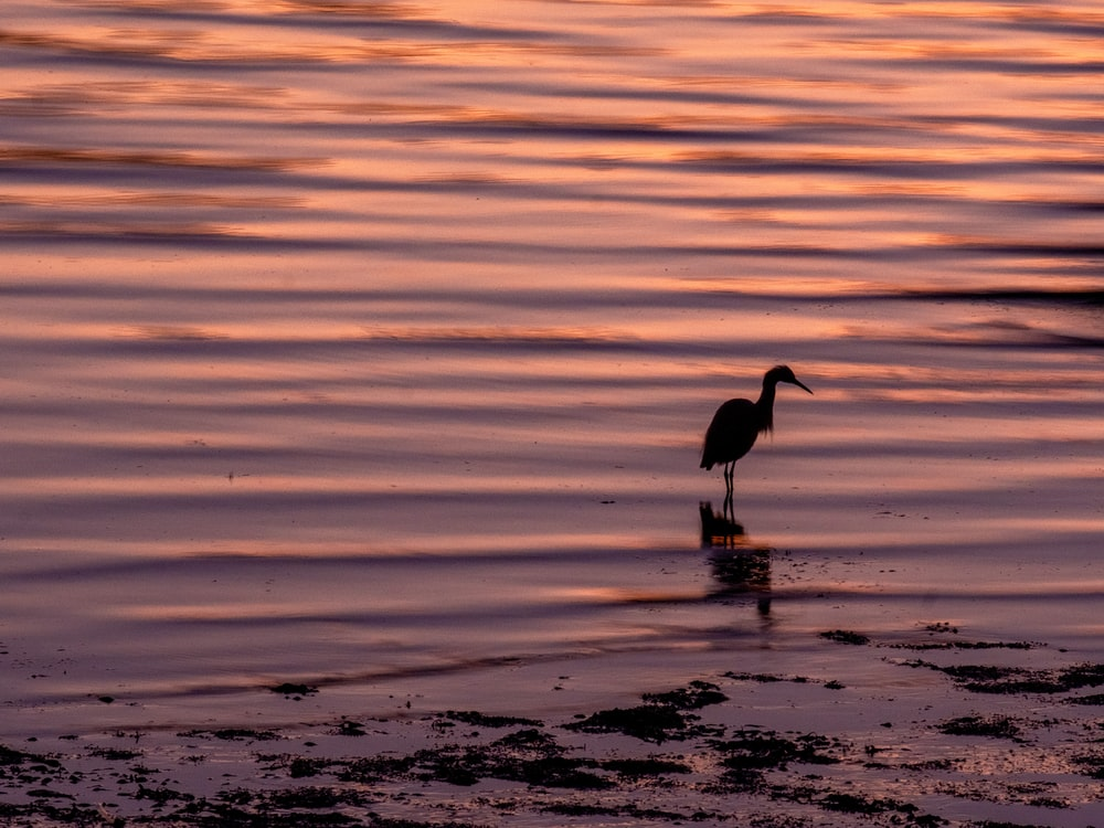 silhouette of bird on body of water