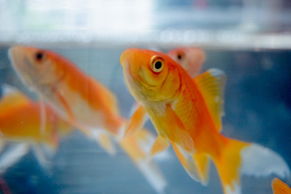 selective focus photography of goldfish