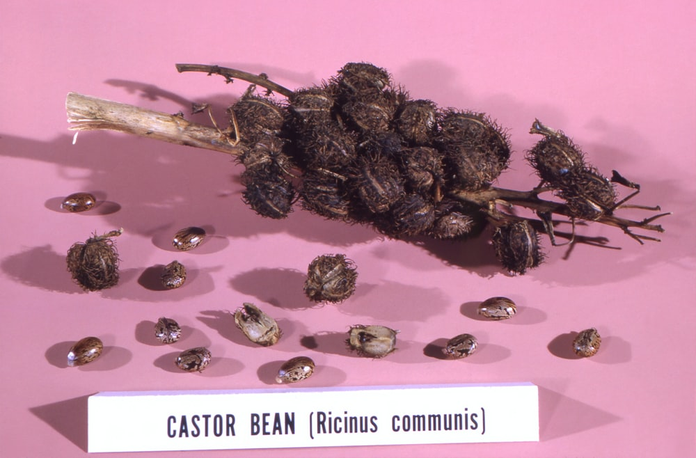 brown seeds