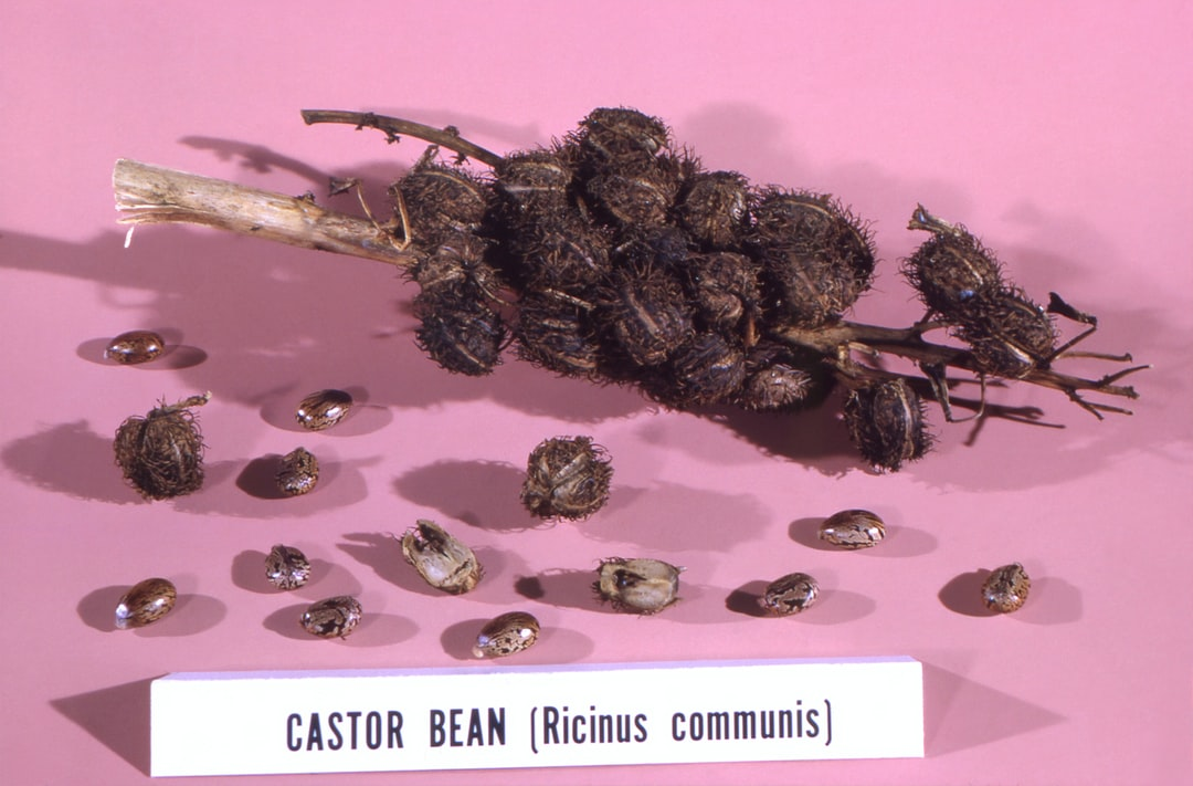 This image from 1966, depicted a castor bean, Ricinus communis, still life, composed of numbers of spiny seed pods, and a freed castor beans scattered about the setting. Castor beans contain the water soluble, highly toxic poison known as ricin.