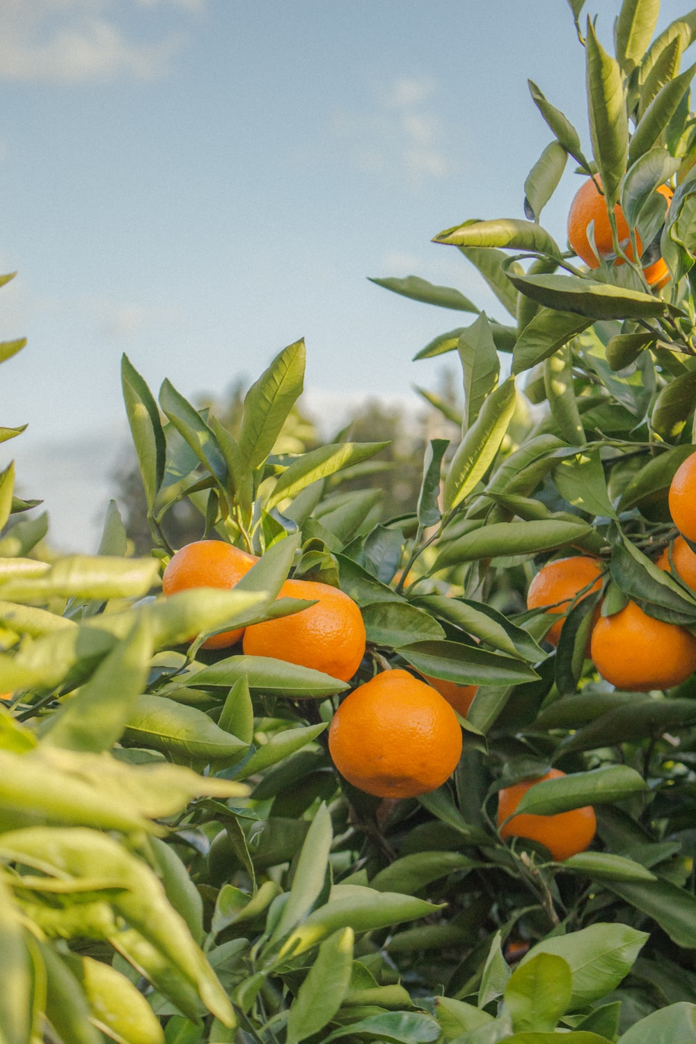 selective focus photography of unpicked orange fruits during daytime