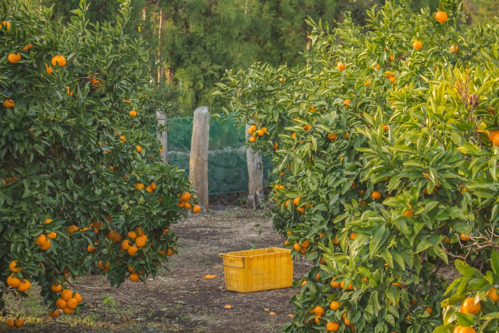 orange fruits and tree