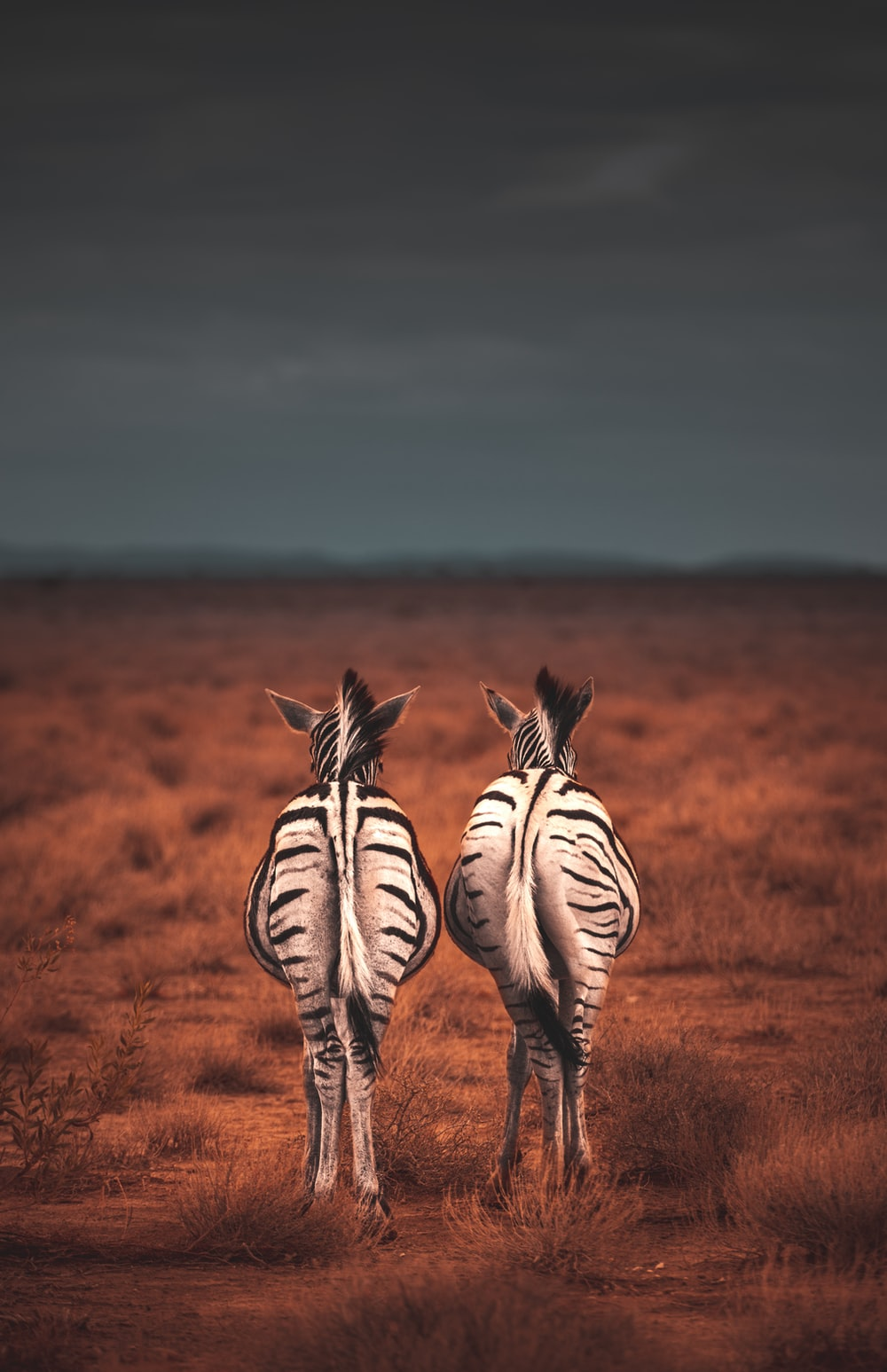 two standing white-and-black zebras