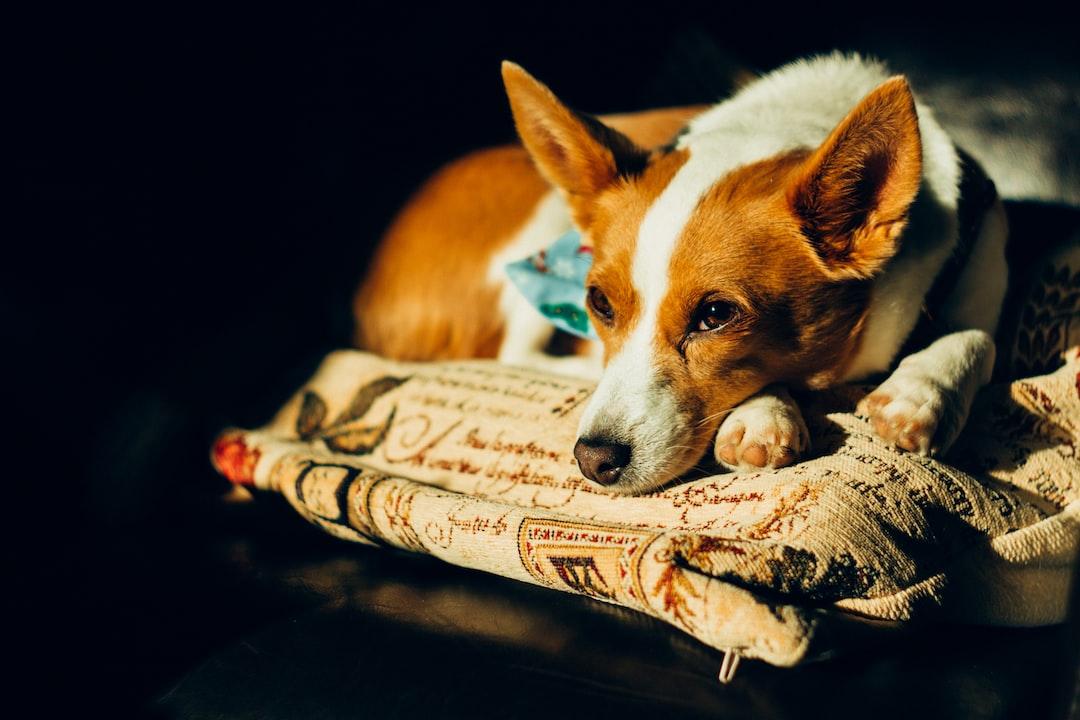 A Podengo Dog Sleeping On A Pillow - unsplash
