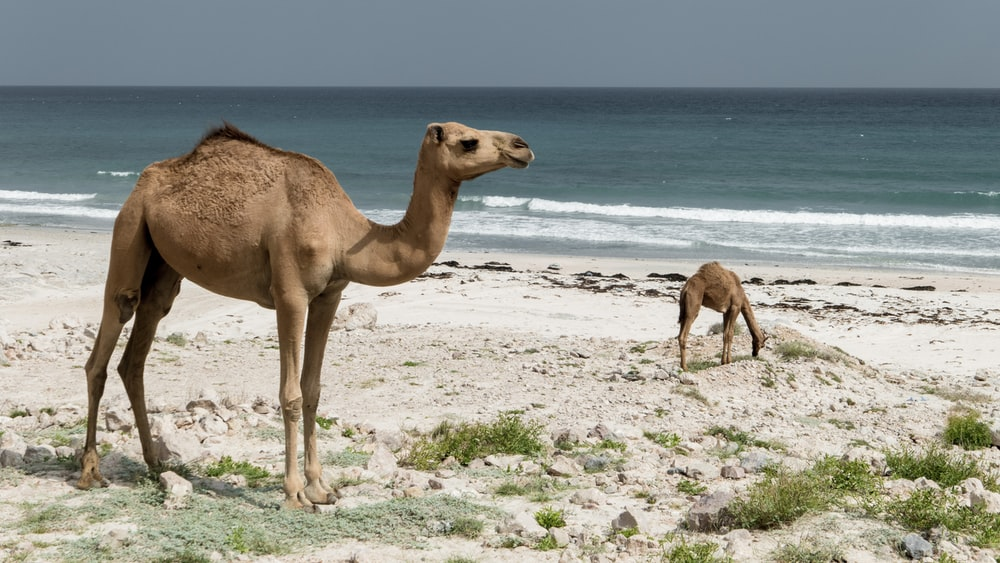 brown camel at the beach during daytime