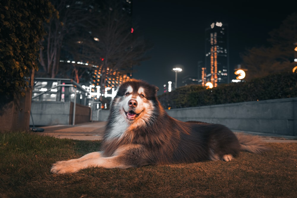 adult gray and white Bernese mountain dog on green field