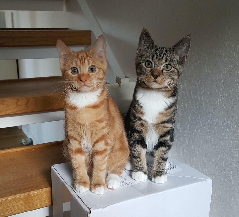two orange and black tabby cats on white box