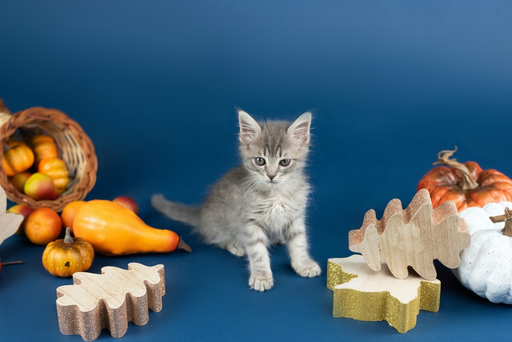 white and grey bicolor kitten