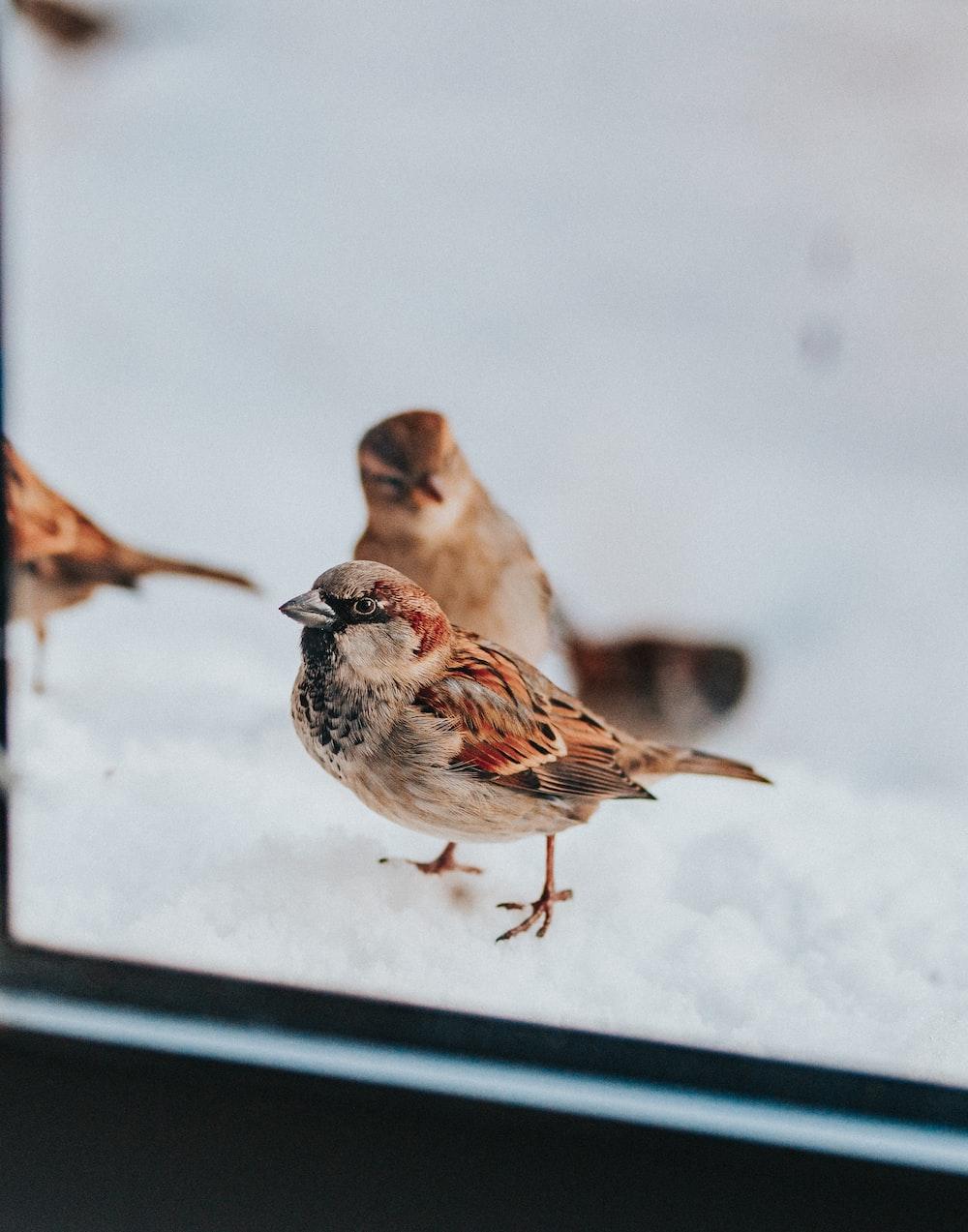 three brown sparrow birds