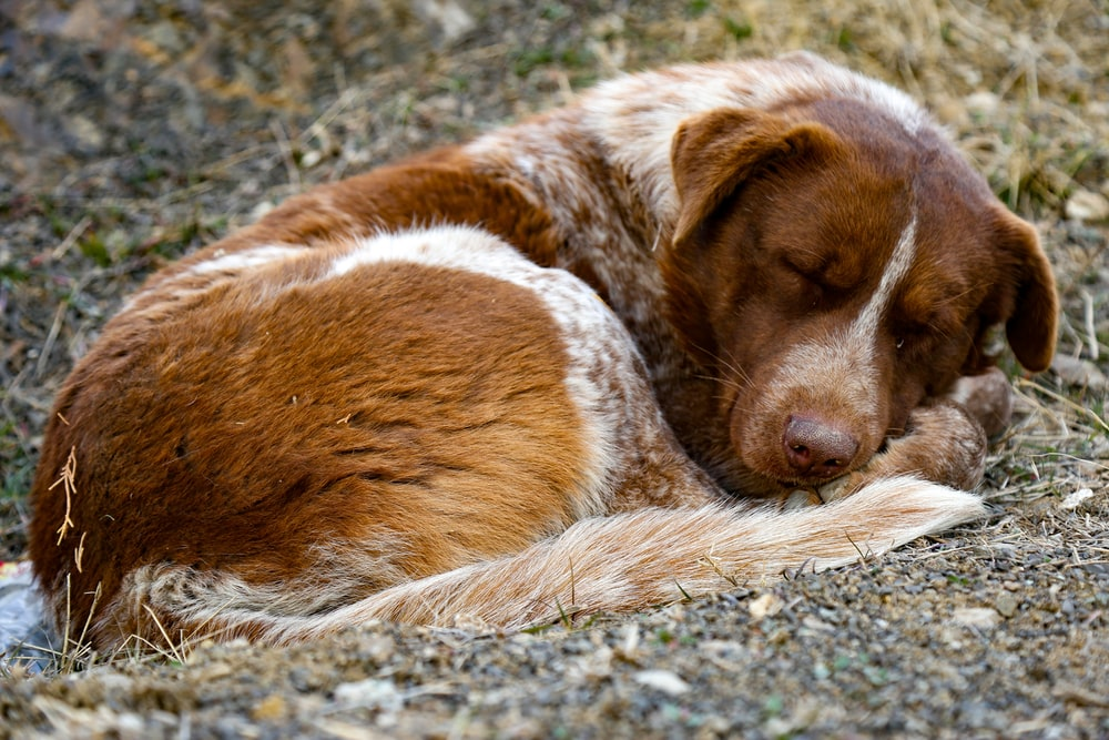 short-coated tan and white dog sleeping on the grass field