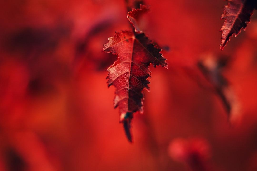 Scarlet Maple Leaf. - unsplash