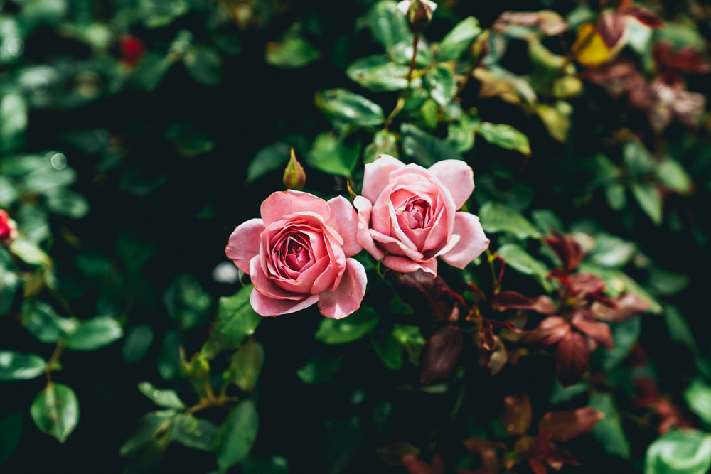 two pink flowers