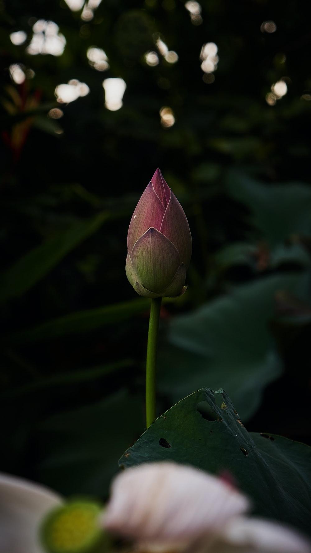 bud of pink flower
